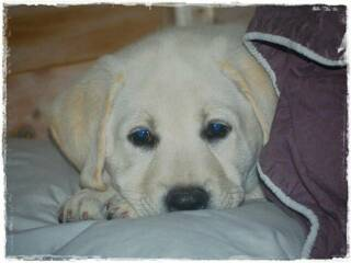 Dixie Run Labradors: White Lab Puppies & Breeder in Mauckport IN