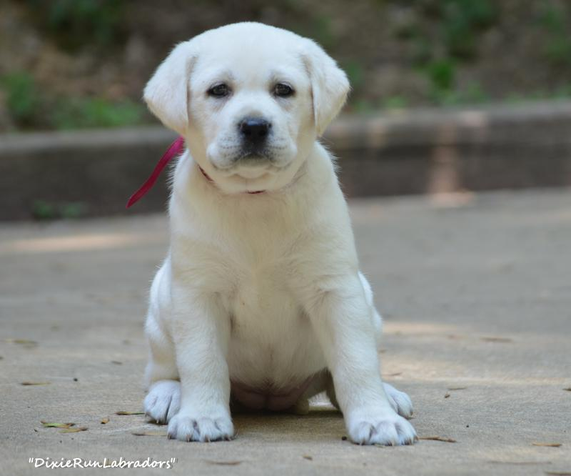 Dixie Run Labradors White Lab Puppies Breeder In Mauckport In